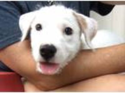Adopt Puppy Eloise a White Labrador Retriever / Mixed dog in DFW, TX (25931140)