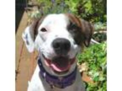 Adopt Bunny a Hound, Pit Bull Terrier