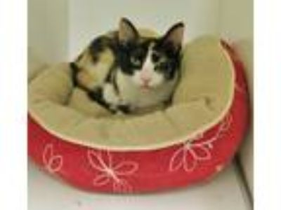 Adopt Lexi a Calico or Dilute Calico Calico (short coat) cat in Georgetown