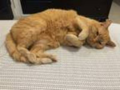 Adopt LUCY a Orange or Red Tabby Domestic Shorthair / Mixed (short coat) cat in