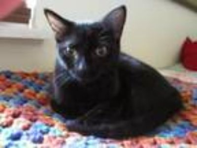 Adopt Maya a Domestic Short Hair
