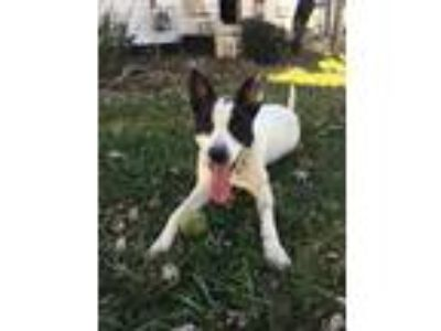 Adopt Zeke (Courtesy Post) a Border Collie