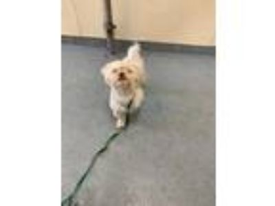 Adopt Toby a White Lhasa Apso / Mixed dog in South Abington Township