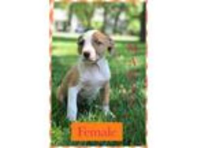 Adopt Marie a Brown/Chocolate - with White American Pit Bull Terrier / Great