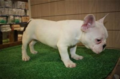 Excellent French Bulldog for X mas
