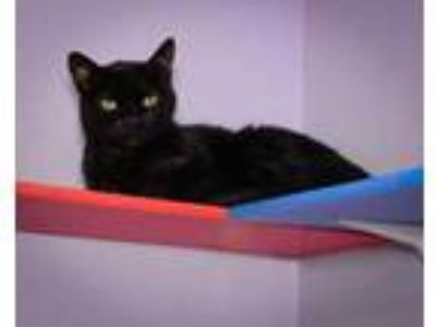 Adopt Ebonie a All Black Domestic Shorthair / Domestic Shorthair / Mixed cat in