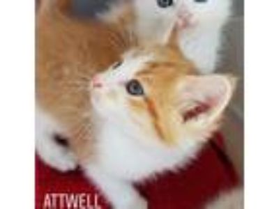 Adopt Attwell a Orange or Red (Mostly) Domestic Shorthair (short coat) cat in