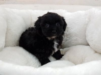 Shipoo Puppy- Male- Bally ($1,250)