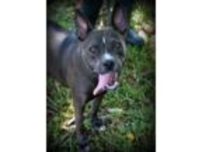 Adopt SHANNA a Pit Bull Terrier