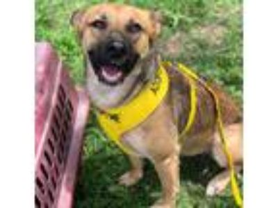 Adopt Millie a Tan/Yellow/Fawn - with Black German Shepherd Dog / Shepherd