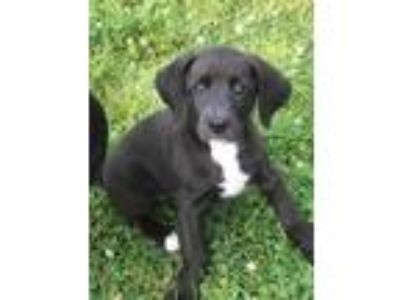 Adopt Willow a Black - with White Lancashire Heeler / Mixed dog in Crum Lynne