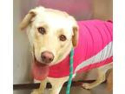 Adopt Cali a Tan/Yellow/Fawn Labrador Retriever / Mixed dog in Noblesville