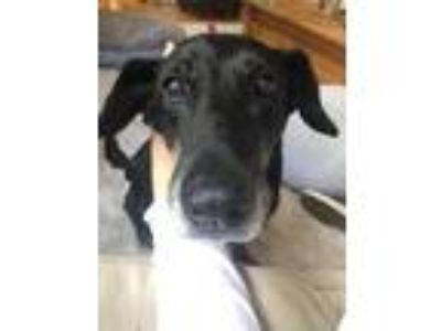 Adopt Merrie a Black Labrador Retriever / Mixed dog in Alpharetta, GA (20238979)