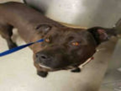 Adopt LANNISTER a Black - with White American Pit Bull Terrier / Mixed dog in