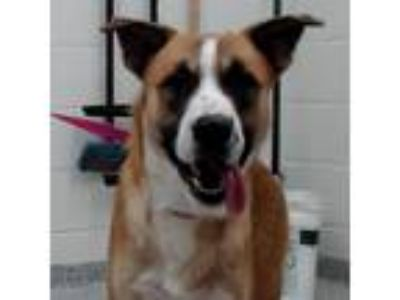 Adopt Beethoven a Brown/Chocolate Shepherd (Unknown Type) dog in Knoxville