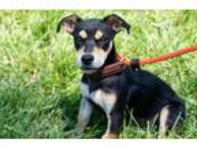 Adopt Kate a Dachshund / Miniature Pinscher / Mixed dog in San Diego