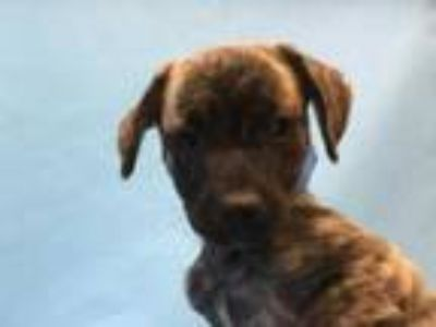 Adopt Austin a Brindle Cairn Terrier / Mixed dog in Golden Valley, MN (25882058)