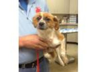 Adopt Minnie a Papillon
