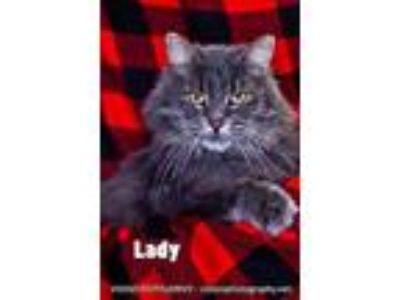 Adopt Lady a Gray or Blue Domestic Longhair / Domestic Shorthair / Mixed cat in