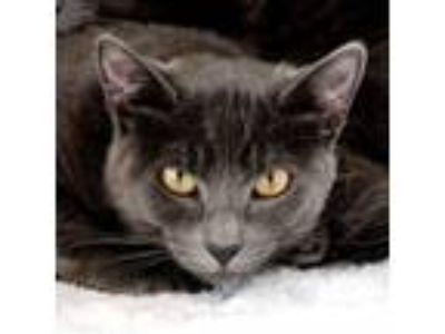 Adopt Misty a Gray or Blue Russian Blue / Mixed (short coat) cat in Redondo