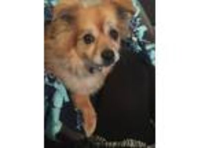 Adopt Sammy a Tan/Yellow/Fawn Pomeranian dog in Atlanta, GA (25295234)