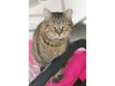 Adopt Toby a Brown Tabby Domestic Shorthair / Mixed (short coat) cat in