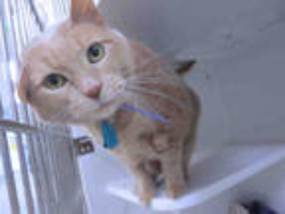 Adopt JAKE a Orange or Red Tabby Domestic Shorthair / Mixed (short coat) cat in