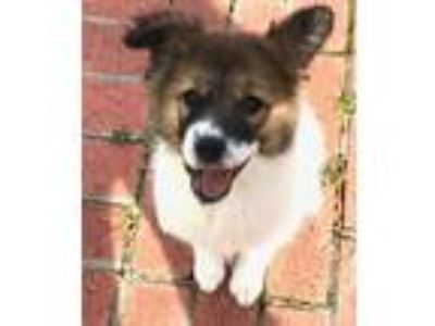 Adopt -Sansa Stark is adopted! a Great Pyrenees, Terrier