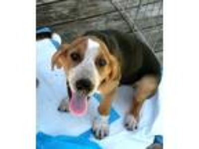Adopt Spec a Tricolor (Tan/Brown & Black & White) Beagle / Mixed dog in