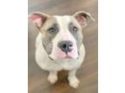Adopt Cora (foster dog) a Pit Bull Terrier