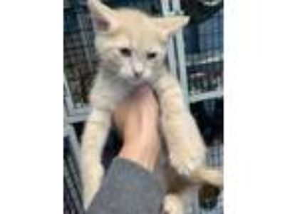 Adopt Odie a Tan or Fawn Domestic Longhair / Domestic Shorthair / Mixed cat in