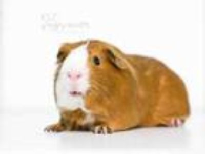 Adopt Scooter a Brown or Chocolate Guinea Pig / Guinea Pig / Mixed small animal