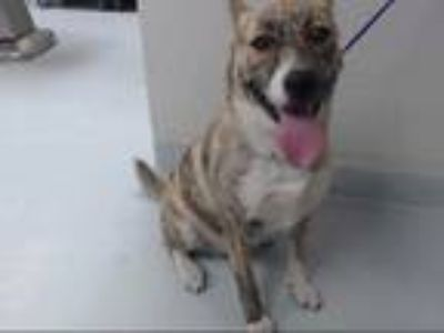 Adopt NINA a Brindle - with White Husky / American Pit Bull Terrier / Mixed dog