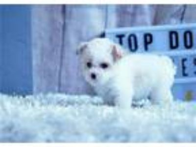 Scooter the Maltipoo