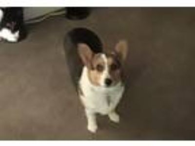 Adopt Cindy a Tricolor (Tan/Brown & Black & White) Corgi / Terrier (Unknown