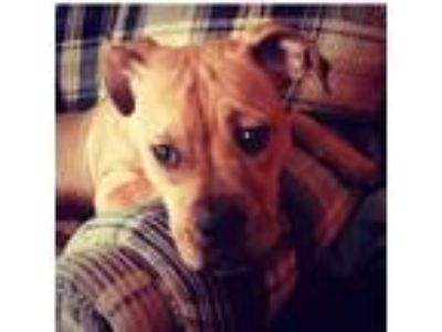 Adopt Nyla a Tan/Yellow/Fawn American Pit Bull Terrier / Boxer / Mixed dog in
