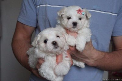 Potty Trained White Maltese Puppies Available