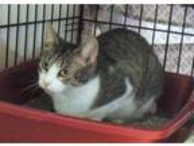 Adopt Bebe a White Domestic Shorthair / Domestic Shorthair / Mixed cat in