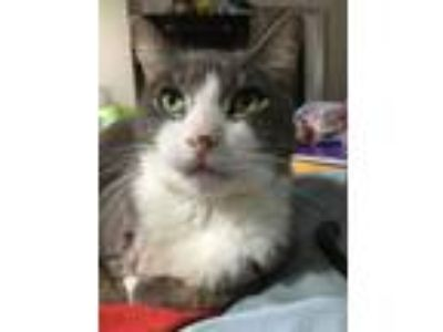 Adopt Sammy a Domestic Short Hair, Russian Blue