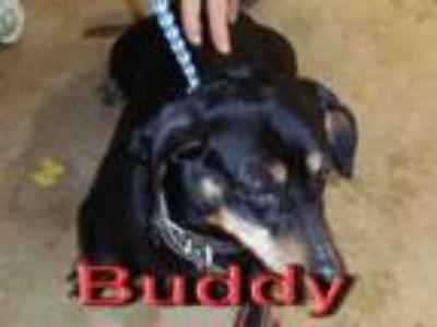 Adopt Buddy a Dachshund