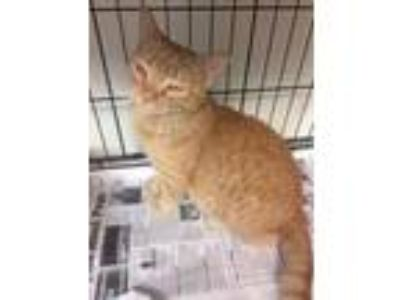 Adopt Nellie a Orange or Red Domestic Shorthair / Domestic Shorthair / Mixed cat