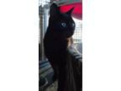 Adopt Clark a All Black Domestic Shorthair (short coat) cat in Speedway