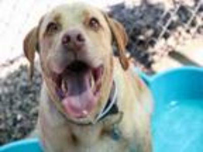 Adopt TOBI a Labrador Retriever, Mixed Breed