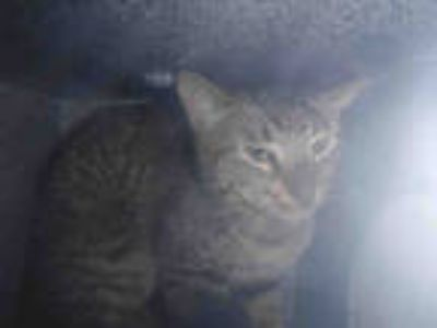 Adopt *OMAR a Brown Tabby Domestic Shorthair / Mixed (short coat) cat in Long