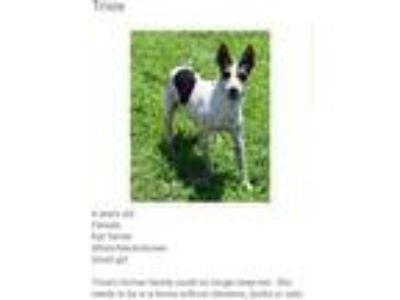 Adopt Trixie a Black - with White Rat Terrier / Mixed dog in Coal City