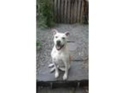Adopt Maximus a White - with Tan, Yellow or Fawn Labrador Retriever / American