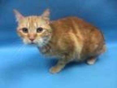 Adopt TJ a Orange or Red Manx / Domestic Shorthair / Mixed cat in Coon Rapids