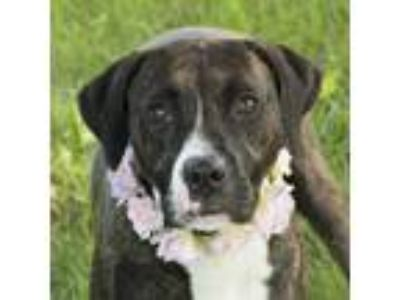 Adopt Della a Brindle - with White Mixed Breed (Medium) / Mixed dog in Troy