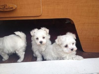 White Home Raised Maltese Terrier Puppies