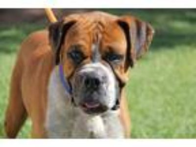 Adopt Frank a Tricolor (Tan/Brown & Black & White) Boxer / Mixed dog in Phoenix